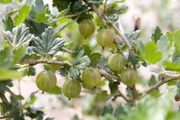 Gooseberries ripening on the bush