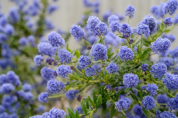 ceanothus-autumnal-blue-2
