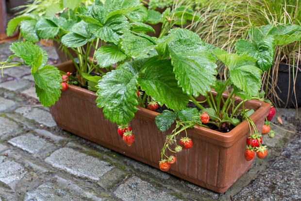 Strawberries grown in a window box