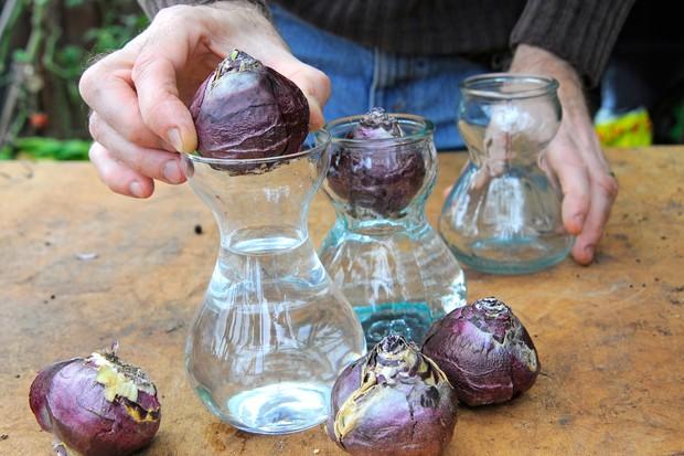placing-hyacinth-bulbs-into-glasses-3