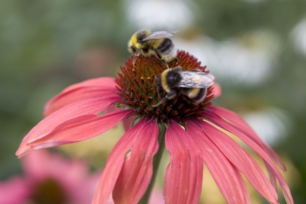 White-tailed bumblebees on a pink echinacea bloom