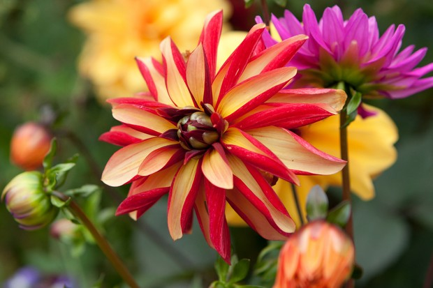 Stunning bloom of Dahlia 'Julie One', its inwards curled petals of pale yellow uppers and red undersides