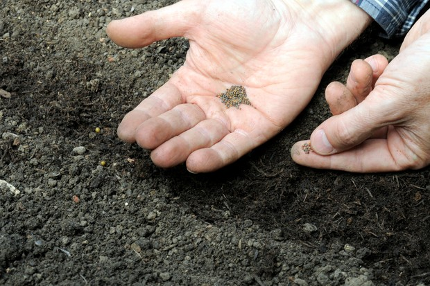 sowing-rocket-seed-along-the-row-2