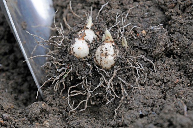 Digging up snowdrop bulbs that are just beginning to shoot