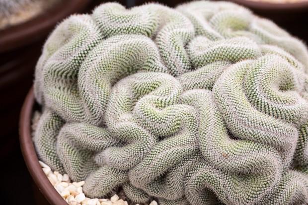 Undulating brain-like Mammillaria cactus
