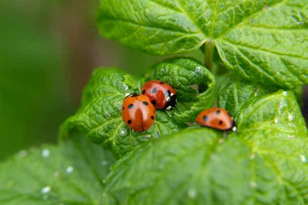 ladybirds-on-a-leaf-2