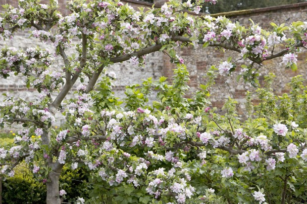An established espalier-trained fruit tree in bloom