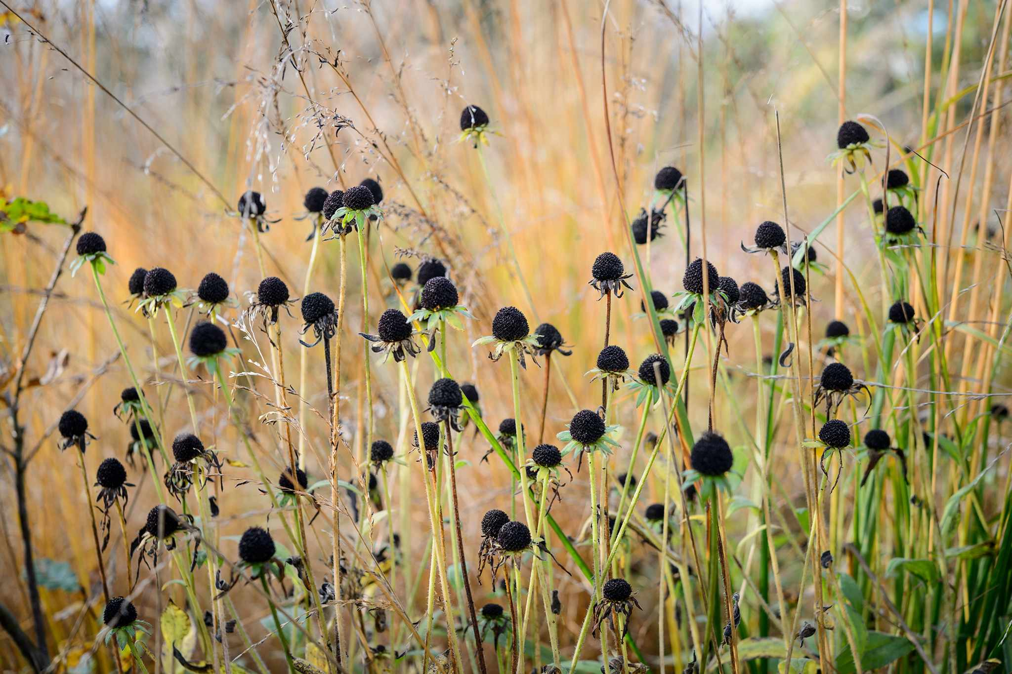 Black seedheads in a border display