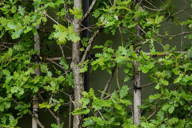 oak-quercus-robur-leaves-and-foliage-2