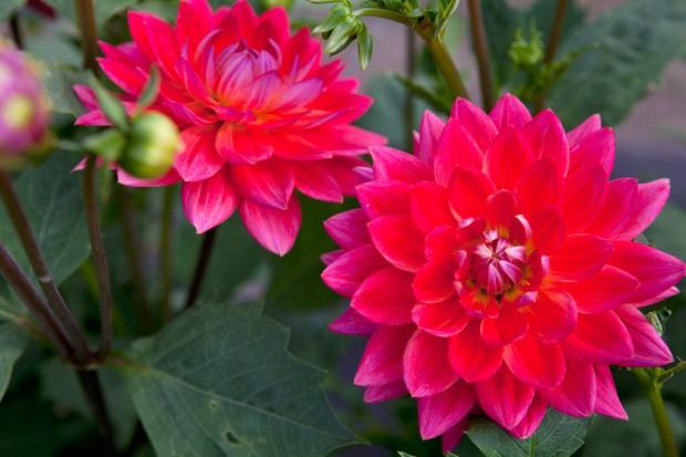Pink-red, waterlily-like blooms of 'Kilburn Rose' waterlily dahlia