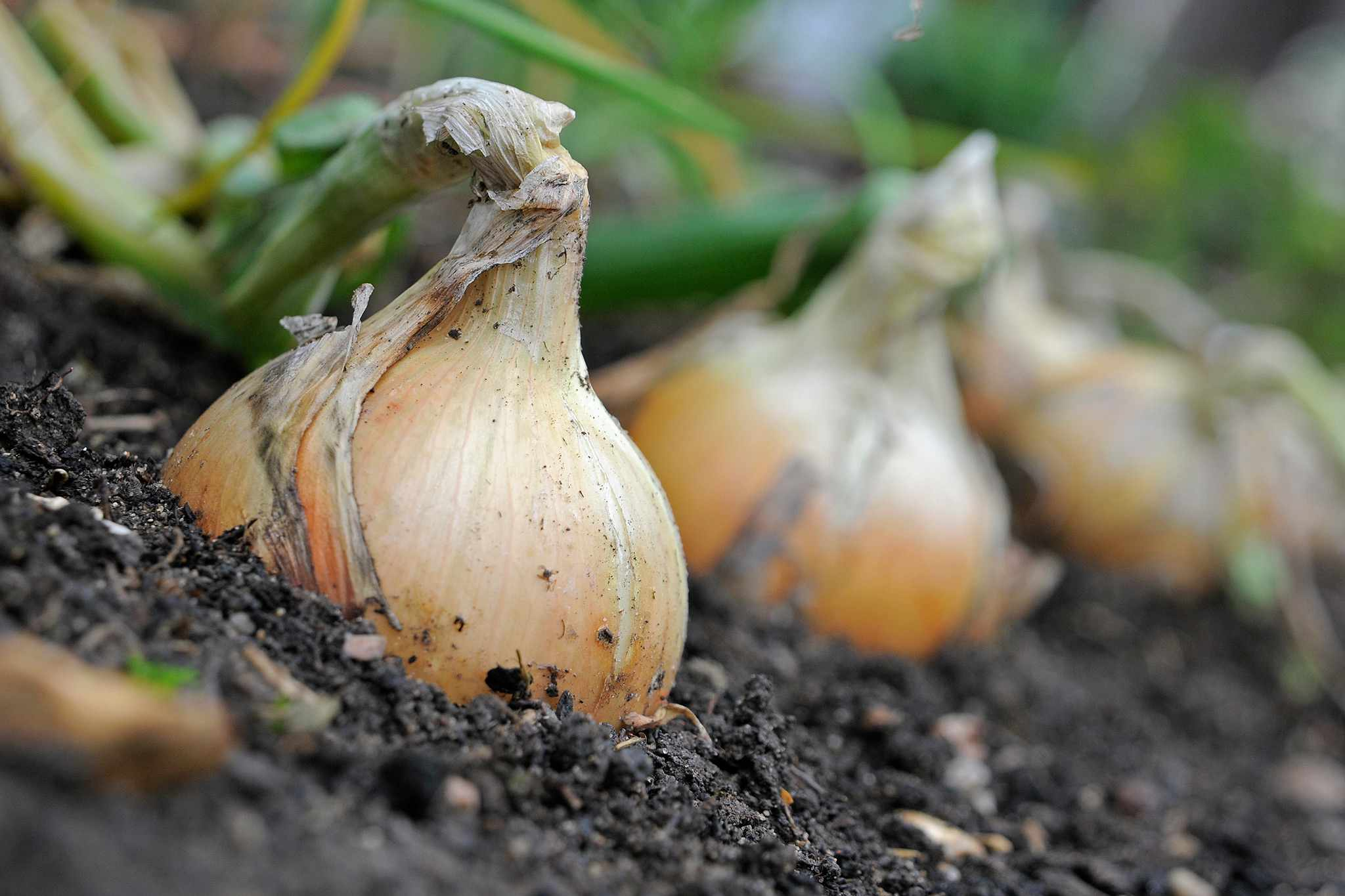 Onions ready for harvesting