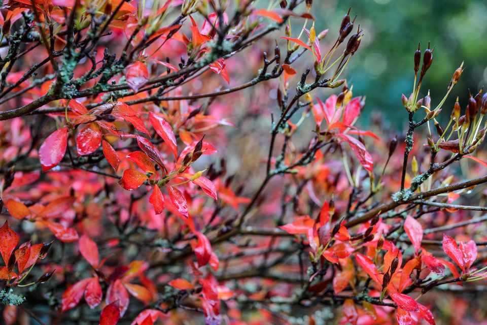 Red/orange foliage of enkianthus