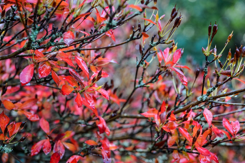 Shrubs That Look Good In November Bbc Gardeners World Magazine