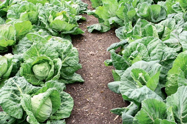 Rows of cabbages ready to harvest