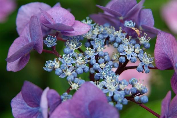 hydrangea-macrophylla-4