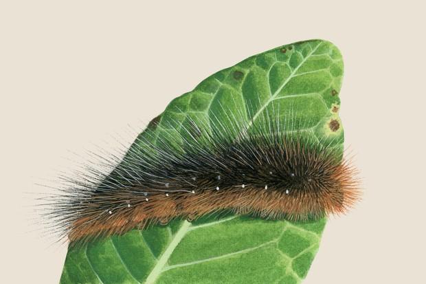 garden-tiger-moth-arctia-caja-2