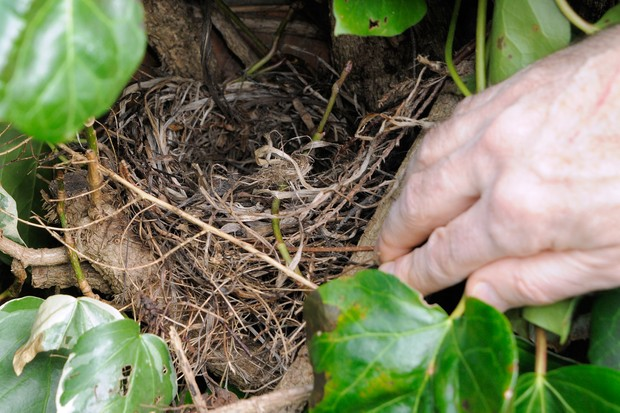 Checking a birds' nest in a hedge is empty