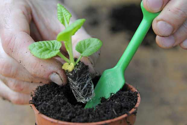 Growing perennials from seed - potting on a plug plant