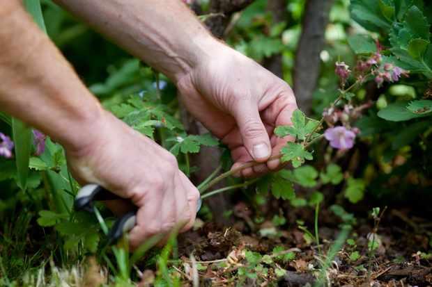 cutting-back-hardy-geraniums-4