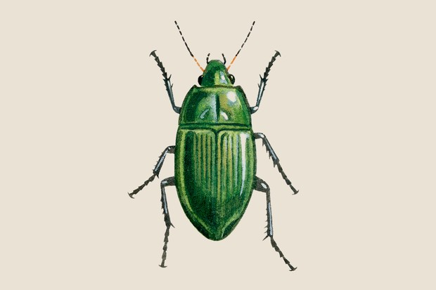 Sun beetle (Amara aenea) illustration