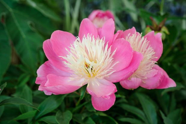 Pink peony variety 'Bowl of Beauty'
