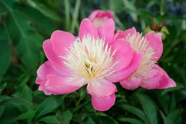 Pink peony variety 'Bowl of Beauty'