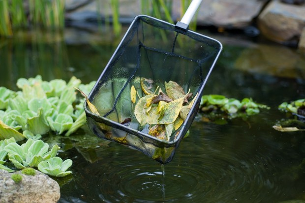 Removing rotting fallen leaves from a pond with a fine net
