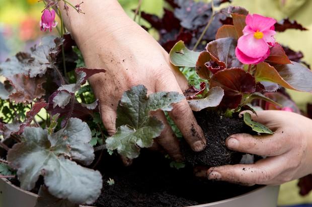 Adding the begonia
