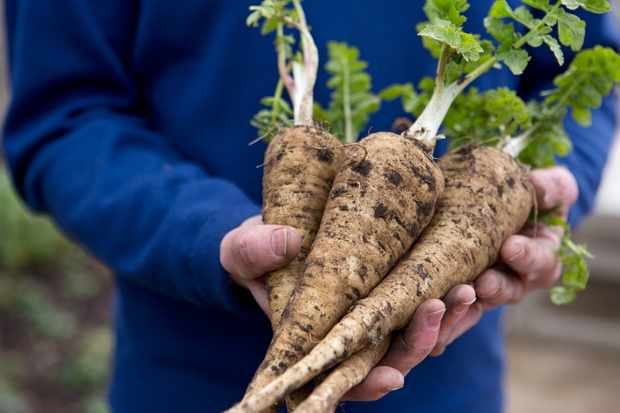 Parsnips – Grow Guide