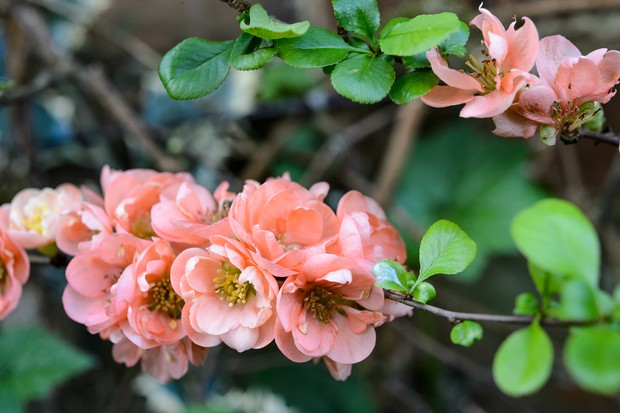 Peach flowers of the Japanese quince 'Geisha Girl'
