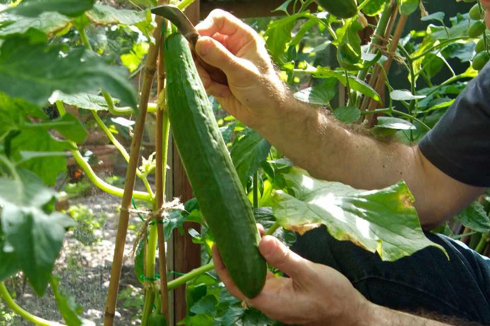 Growing Cucumbers From Seed Bbc Gardeners World Magazine