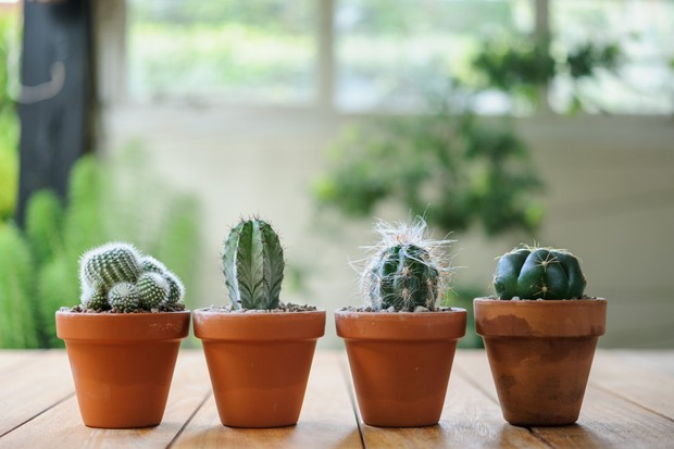 Small cacti in clay pots on an indoor table