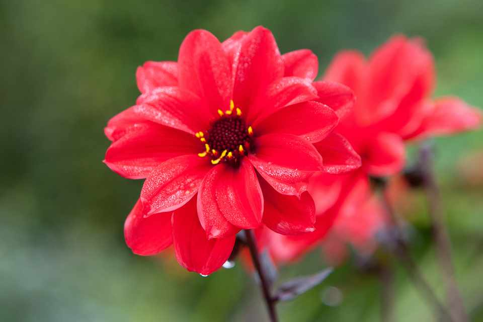 Deep-bronze foliage and bright-red single blooms of Dahlia 'Bishop of Llandaff'