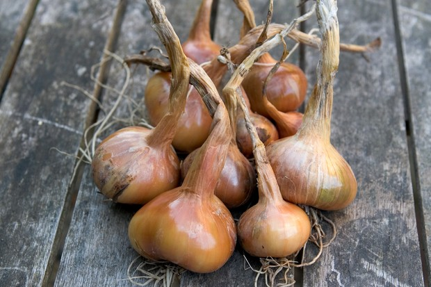 Freshly harvested shallots