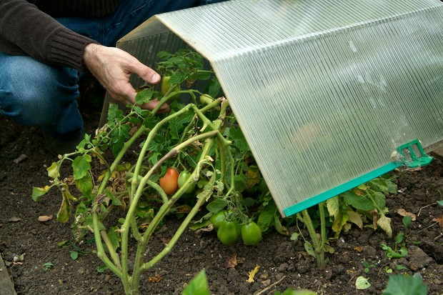 Tucking tomato plants under a plastic tunnel