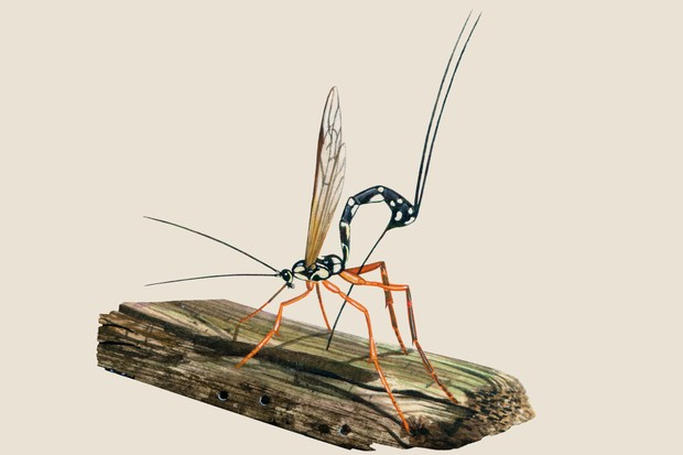 Illustration of the 4cm long Ichneumon wasp, with its narrow black body and long egg laying tube