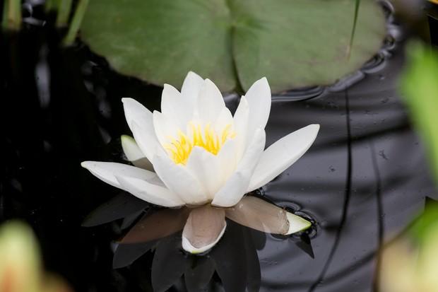 A large white Nymphaea 'Gladstoniana' flower