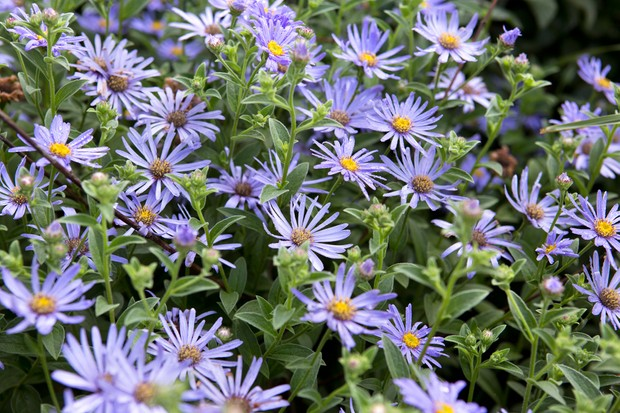 Light-purple aster flowers