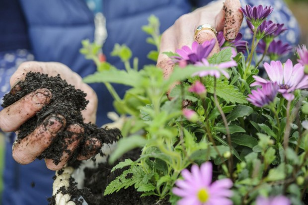 Adding compost around the plants