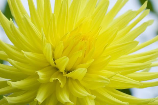 Yellow cactus dahlia 'Yellow Galator'