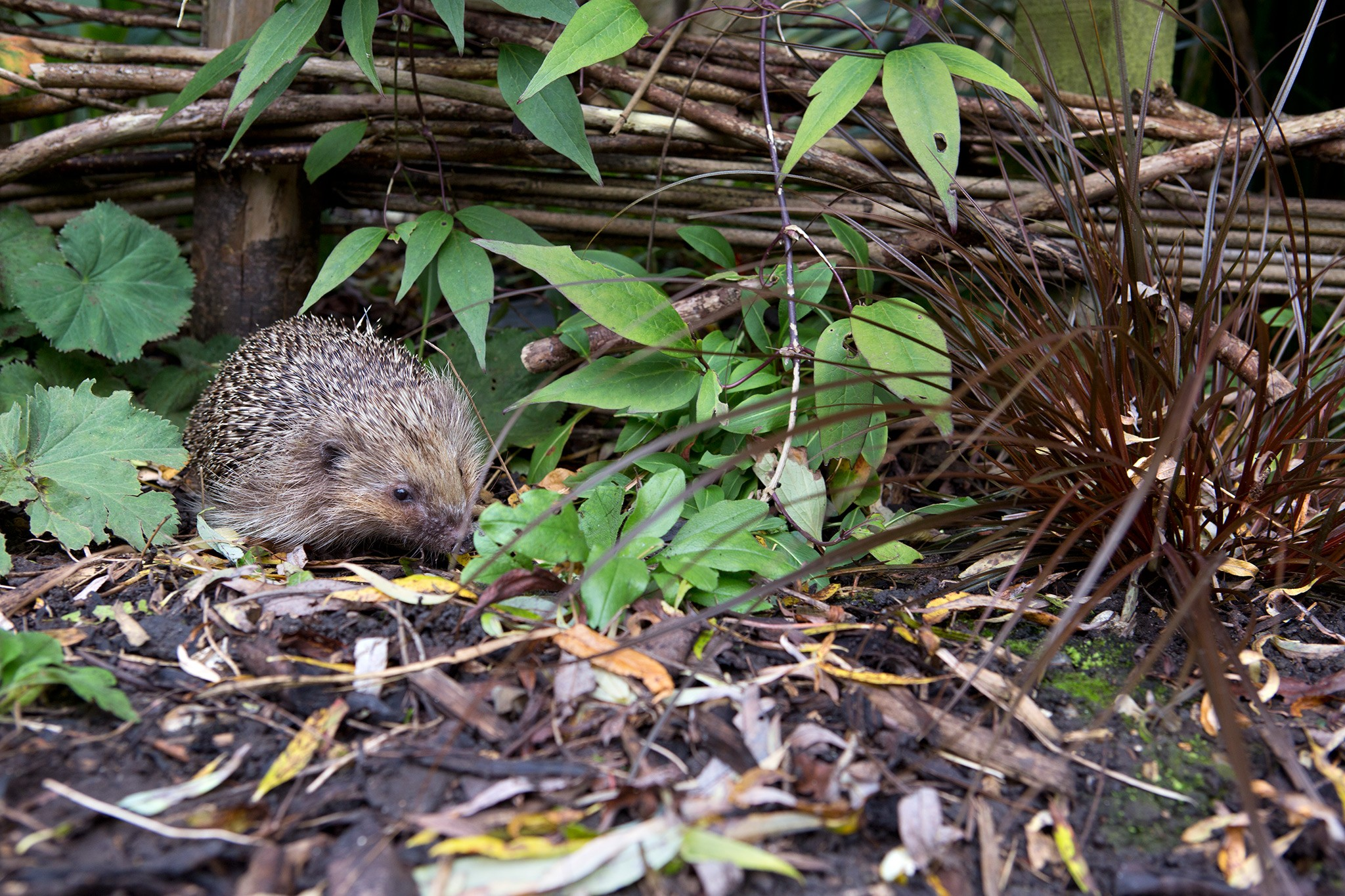 Hedgehog in a garden
