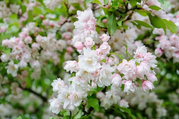 blossom-on-apple-tree-4