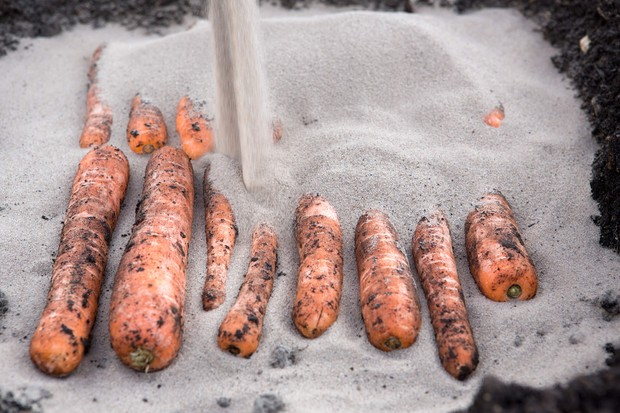 Laying carrots on the sand