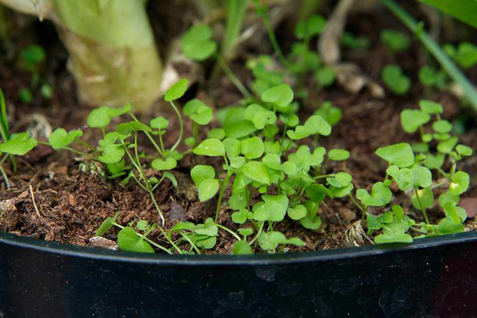 Chickweed seedlings in a pot