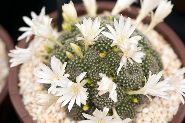 White flowering cactus Rebutia krainziana