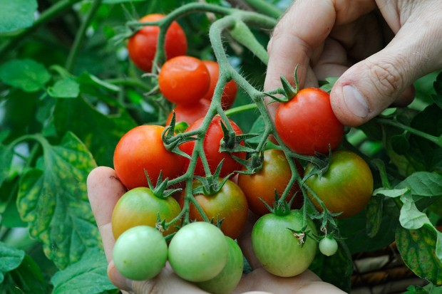 how to ripen late tomatoes. Black Bedroom Furniture Sets. Home Design Ideas