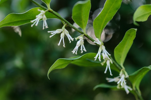 sweet-box-sarcococca-confusa-5