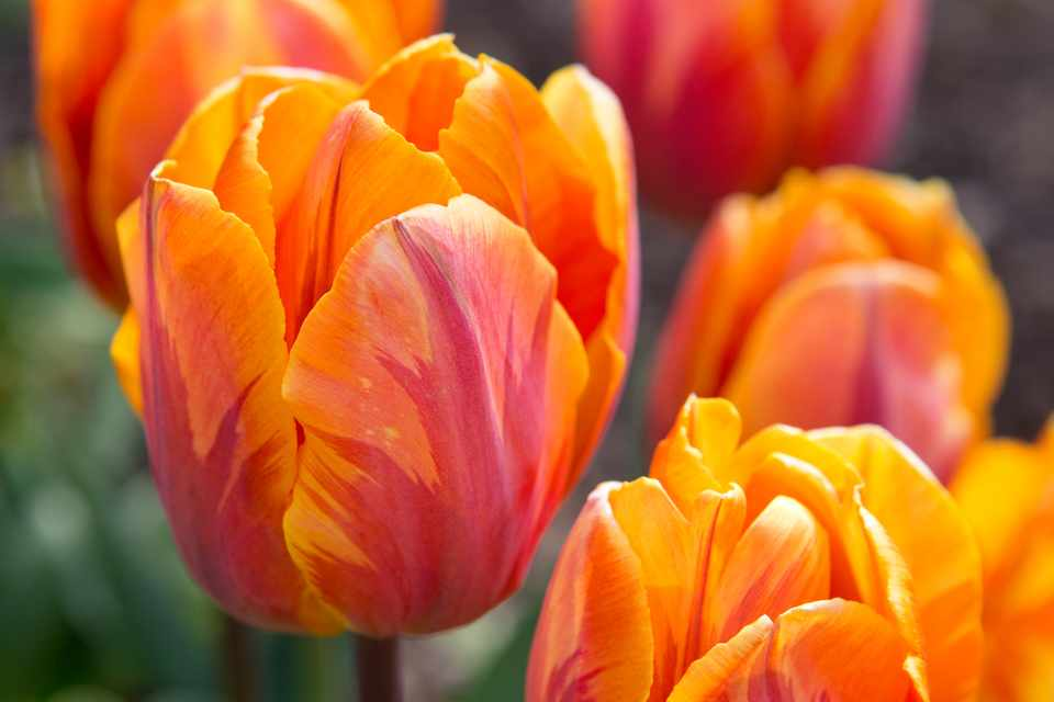 Favourite Orange Tulips to Grow