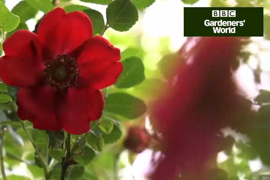 How to take hardwood rose cuttings video