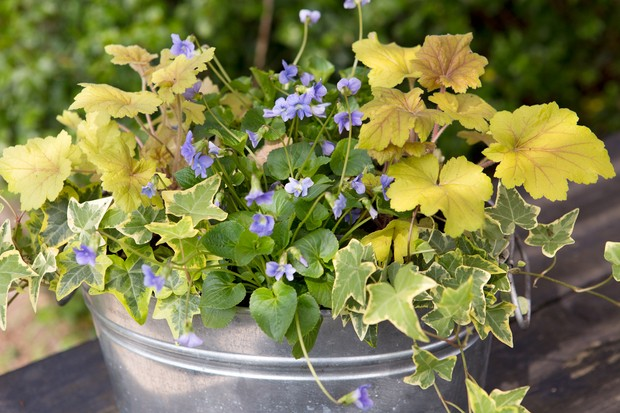 Lime heuchera foliage with mauve violets and variegated ivy in a steel bucket